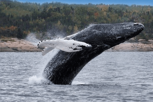 tadoussac whalewatching 011.png