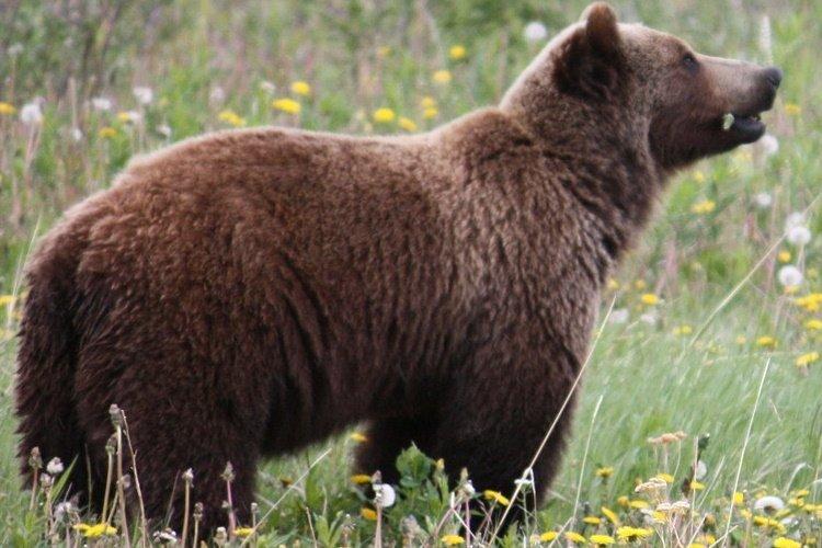 canada bear haines.jpg