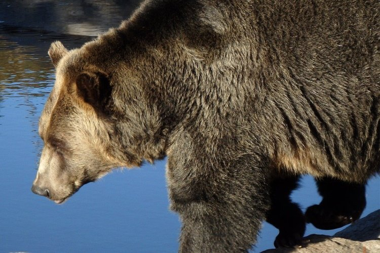 grizzly-bear-1248075_1280.jpg