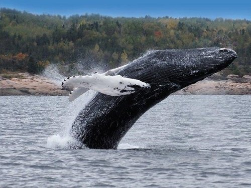 Tadoussac whalewatching