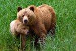 Grizzly Bear Tour Telegraph Cove